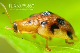Tortoise Beetle (Laccoptera sp.) - DSC_4914