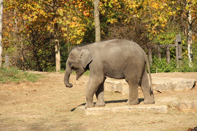 Baby Elephant - St Louis Zoo