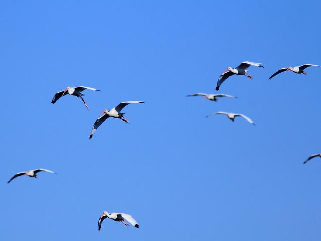 White Ibises 20121125