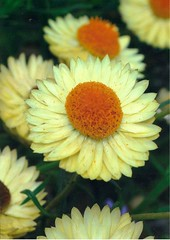 annual plant, flower, yellow, plant, gerbera, daisy, macro photography, herb, flora, chrysanths, daisy, petal,