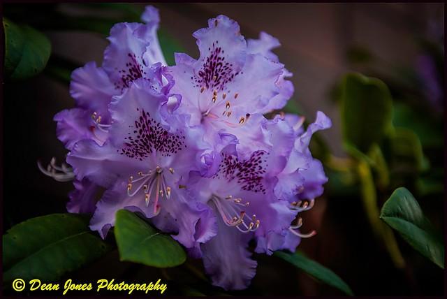 Alicia's Rhododendron