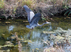Heron-dallas-nov2012