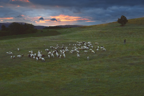 mountain rural sunrise landscape nikon scenery europe sheep tara serbia pasture herd srbija planina sheepman