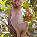 Pig-tailed Macaque Sepilok Orang Rehab Centre (Dani Free)