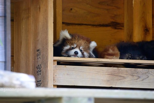 sleeping brown white house black animal japan mammal zoo nikon box chiba redpanda d60 chibazoologicalpark