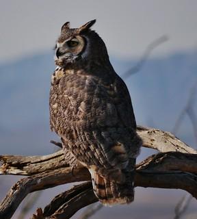 112812-052, Great Horned Owl.