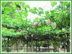 Fruiting Passiflora edulis (Purple Passionfruit/granadilla) on strong support at Siloam House, Karak