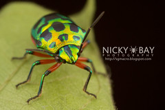 Shield-Backed Bug (Scutelleridae) - IMG_7302