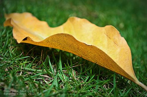 autumn india fall grass yellow leaf pattern bangalore fallen memory karnataka nikond90