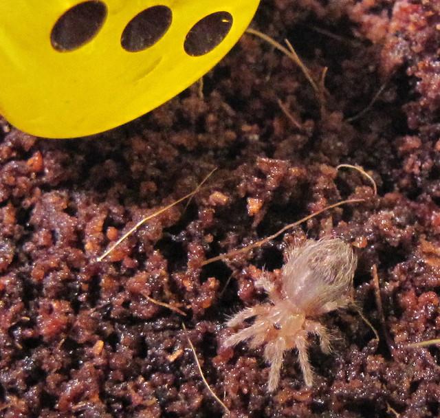Pet Tarantula Food