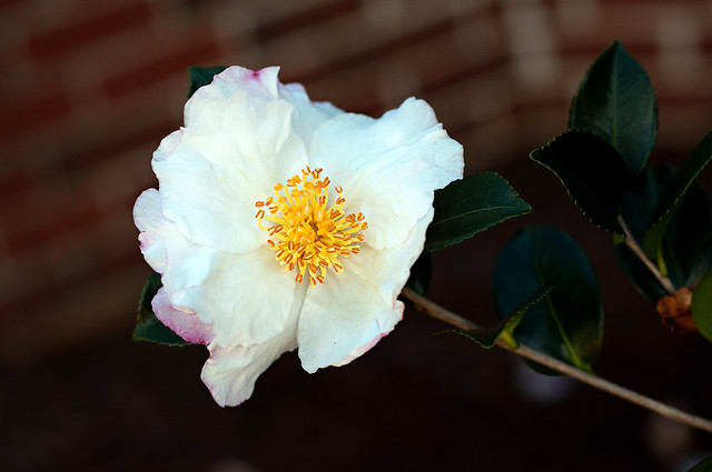 golden centered camellia