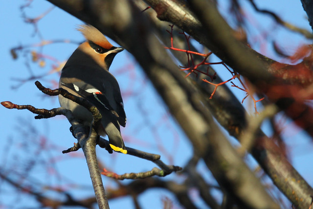 Waxwing- 'Shitloads of Brown Cockatiels'