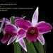 Laelia purpurata flâmea - cultivo Eduardo Masiero - melhor planta da exposição CGO dezembro 2012