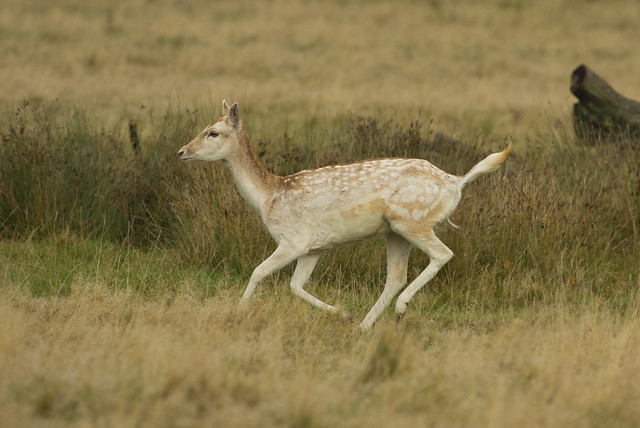 fallow deer running 3