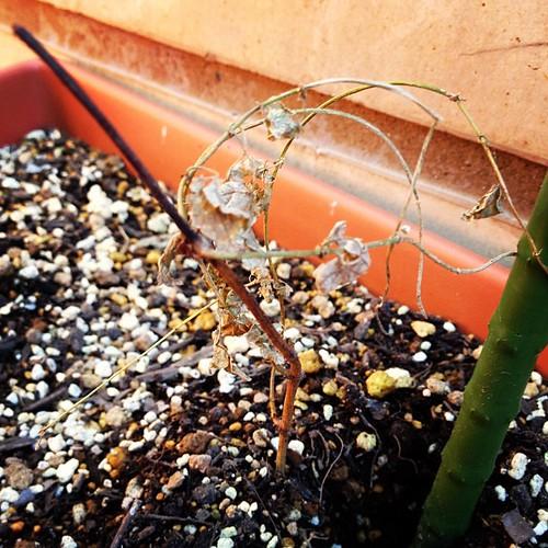 ホップが…(´・_・`) でもホップ栽培の先生に聞いたら冬は地表面の葉は全部枯れるとので、これで正解だそう。春に元気な芽がでますように。
