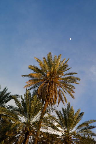 نخيل تيماء - Tayma Palm Trees by Bader Awwad