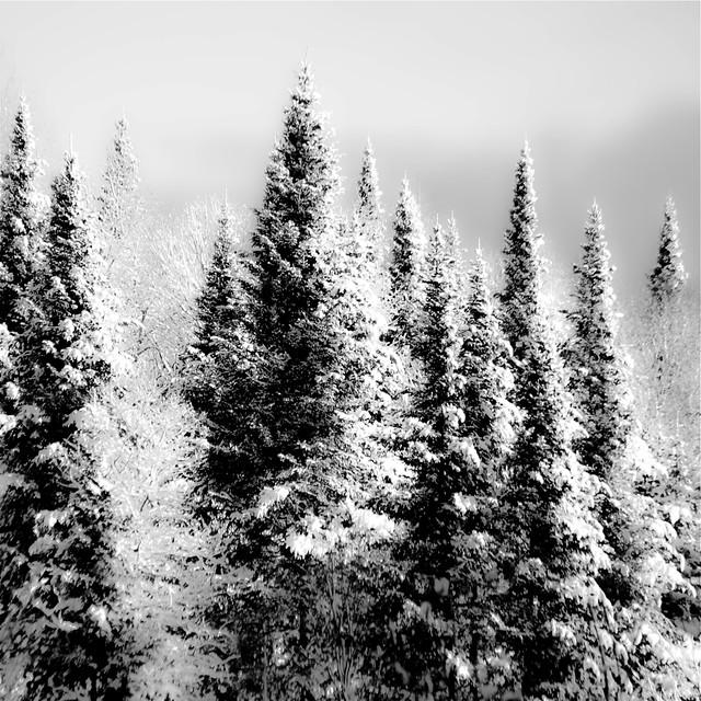 Comme des sentinelles sculptées... fourrure de lumière... fantômes dressés dans ma forêt d'hiver...!!!