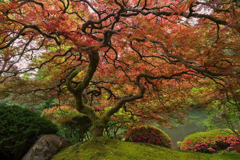 Japanese Maple, Portland, OR