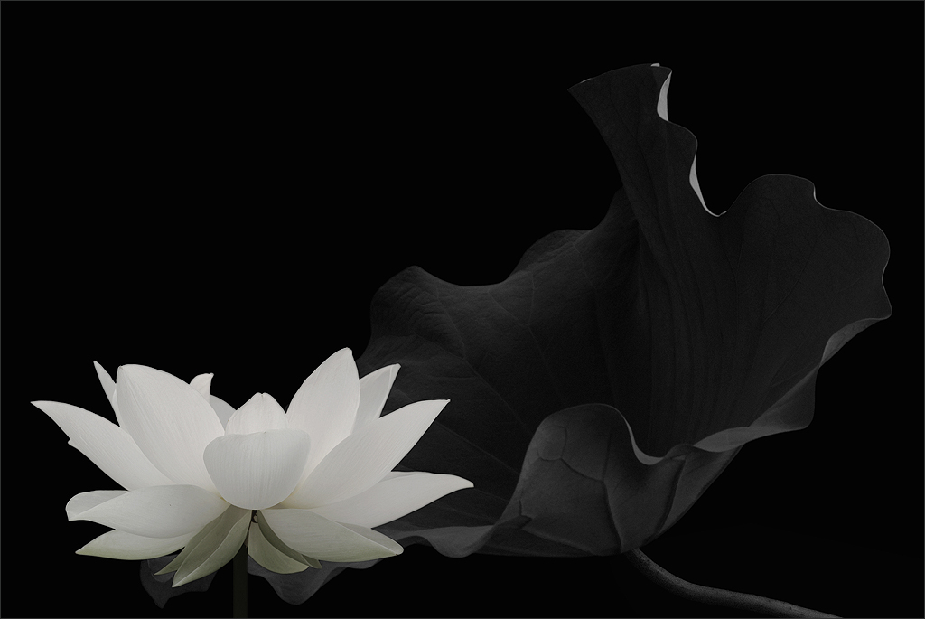 On Black: White Lotus Flower and Leaf in Black and White - IMG_6591 ...