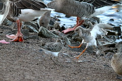 knot and a Ruff having a dispute