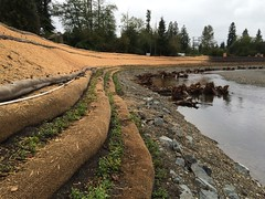 New plantings along the Pilchuck River
