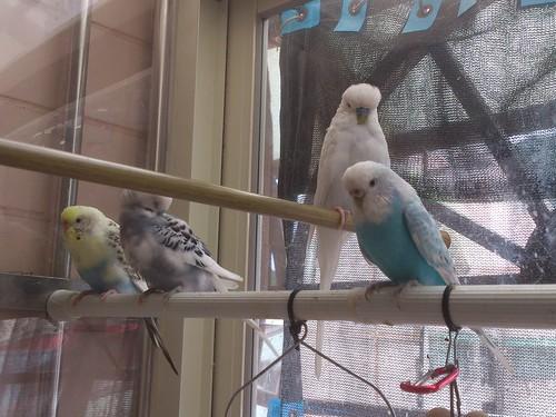 我家的四隻虎皮鳥寶