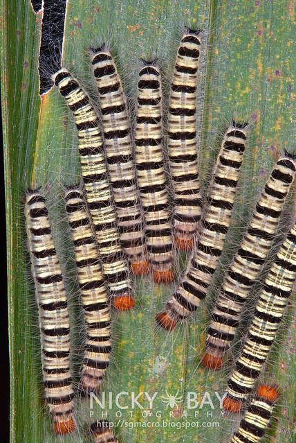 Skipper larvae (Coeliadinae) - DSC_7339