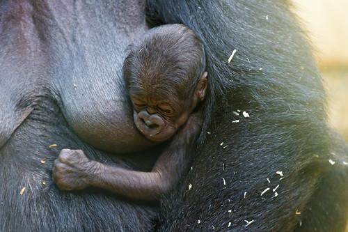 [フリー画像素材] 動物 1, 猿・サル, ゴリラ, 寝顔・寝姿, 動物 - 親子 ID:201211121000
