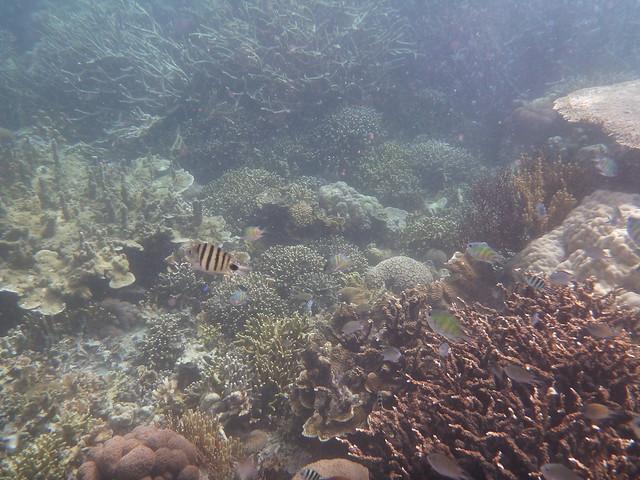 而且這裡的海比較深, 所以大多數是樹狀的珊瑚, 較難以親近