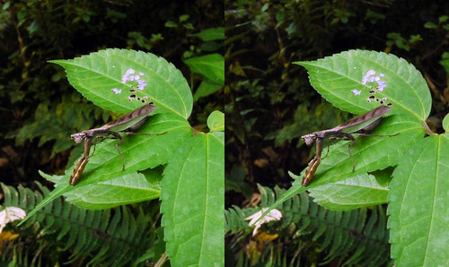Acromantis japonica, stereo parallel view