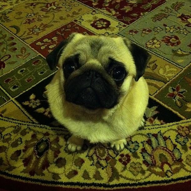 agamemnon my pug