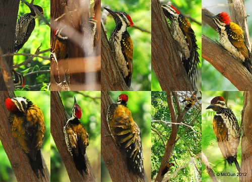 Woodpecker Portraits by McGun
