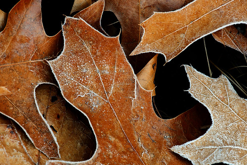 Ohiopyle Falls: Frosty leaves