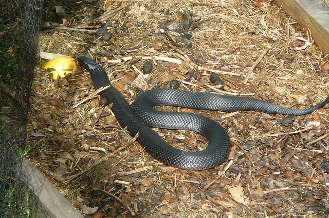 In My Garden This Morning Red Bellied Black Snake Merimb Flickr Photo Sharing