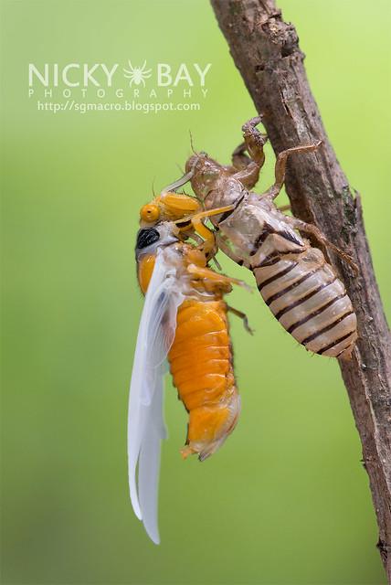 Black and Golden Cicada (Huechys fusca) - DSC_9423