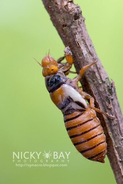 Black and Golden Cicada (Huechys fusca) - DSC_9308