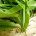 Kangra tea leaf