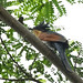 Chestnut-Winged Cuckoo _ Bidadari