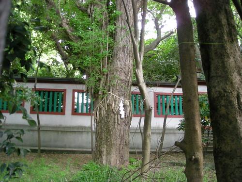 富岡八幡宮の大イチョウ