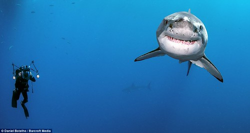 微笑:深海攝影師Daniel Botelho離開籠子,待在水中紀錄大白鯊24小時