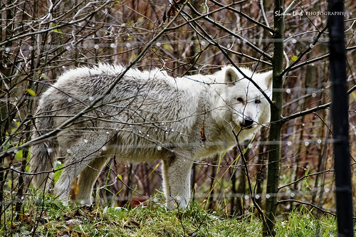 timber wolf by Shannon Leigh Photography