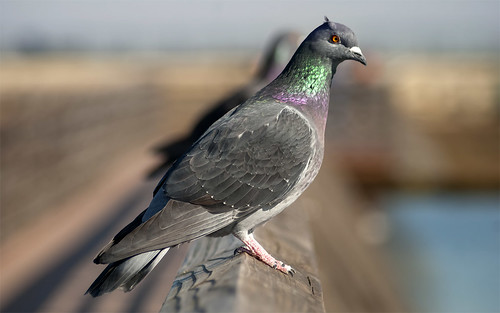 Pigeons - bokeh