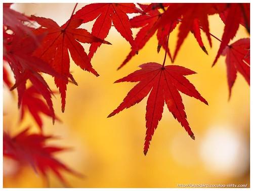 Red Leaves on Tsushima Srine #04