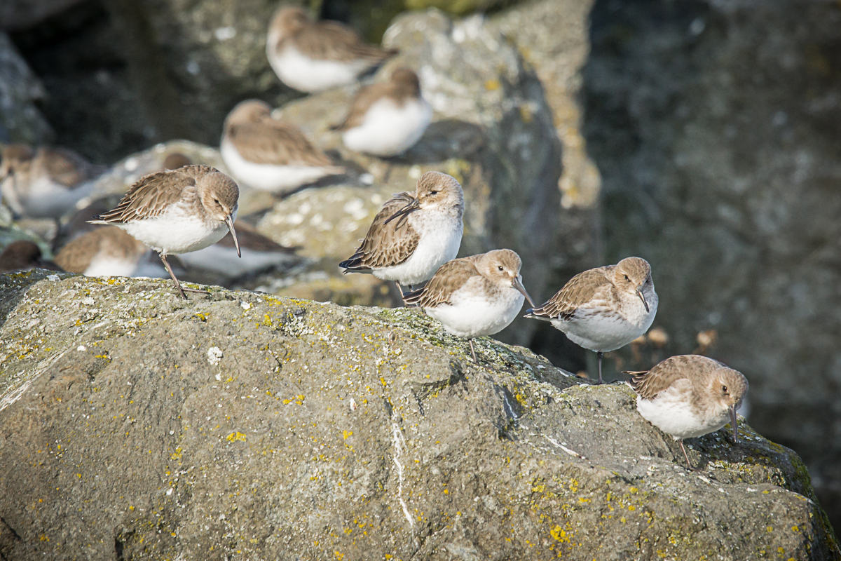 Baird's Sandpipers