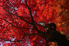 [Free Images] Flowers / Plants, Trees, Maple, Autumn Leaf Color, Red ID:201212111200