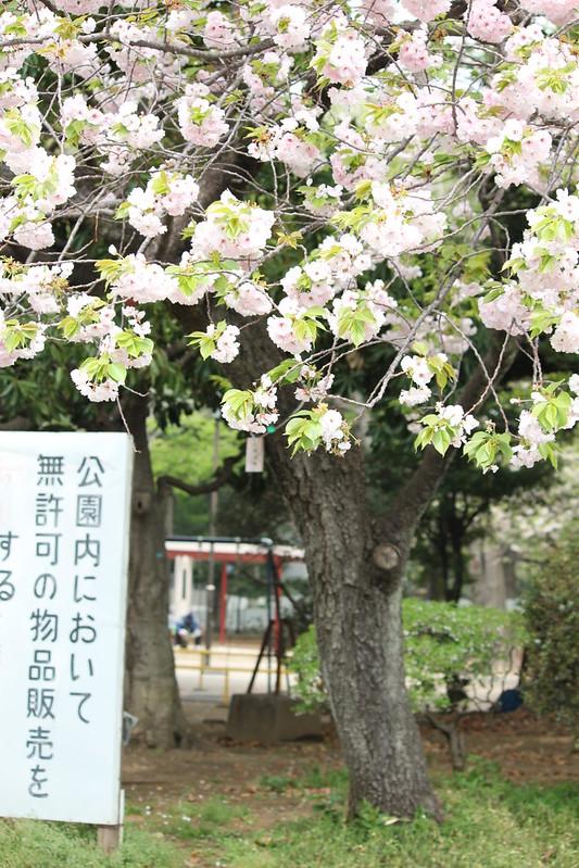 anh đào - sakura