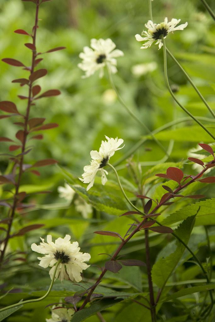 cephalaria stems
