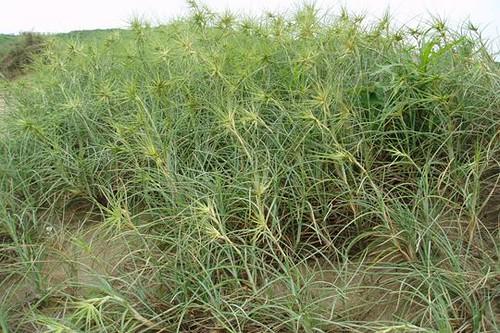 常分布於海岸沙地之濱刺麥