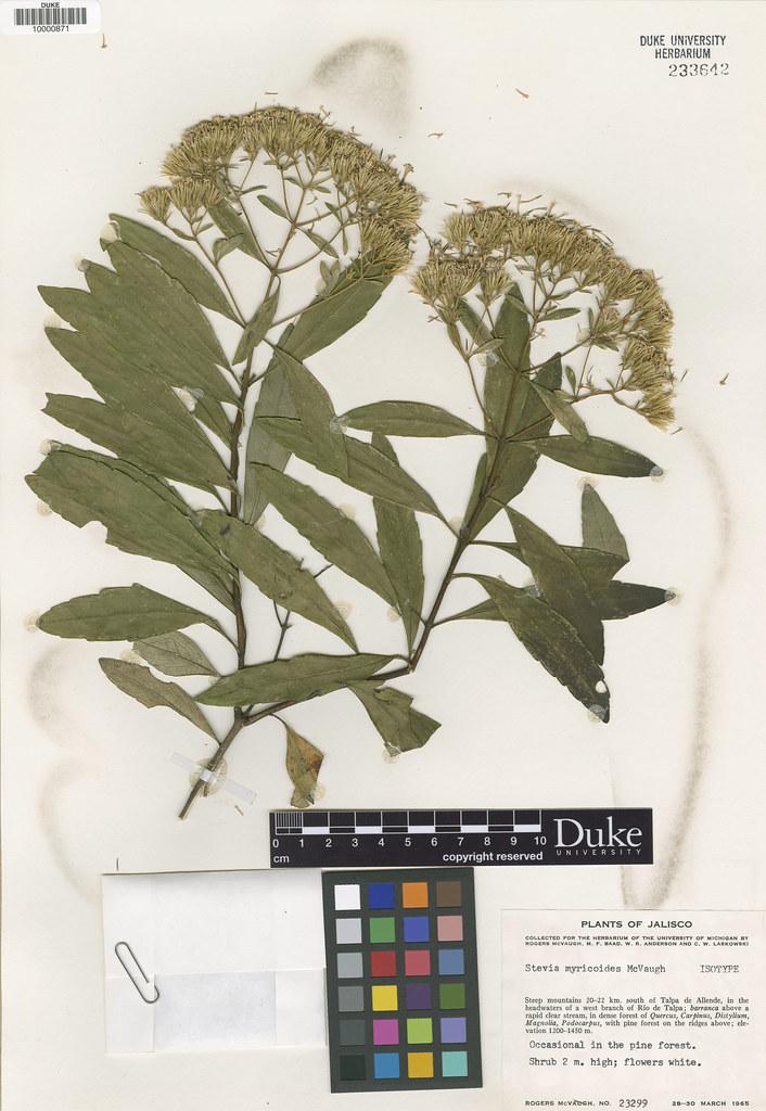 Asteraceae_Stevia myricoides
