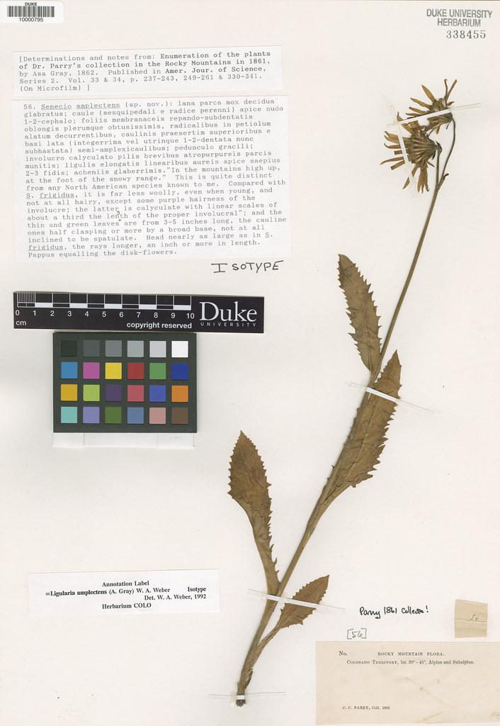 Asteraceae_Senecio amplectens
